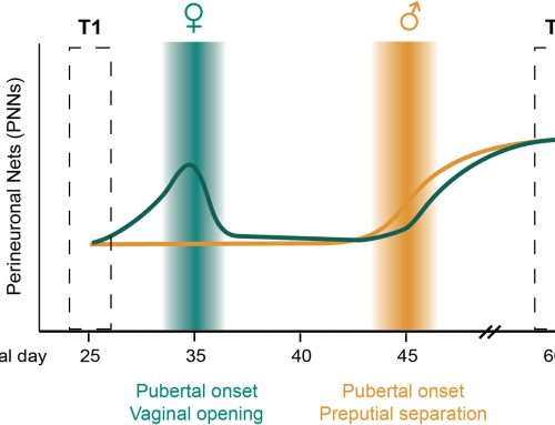 Coming of age in the frontal cortex: The role of puberty in cortical maturation
